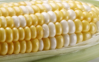 http://www.dreamstime.com/royalty-free-stock-images-corn-cob-image25260439